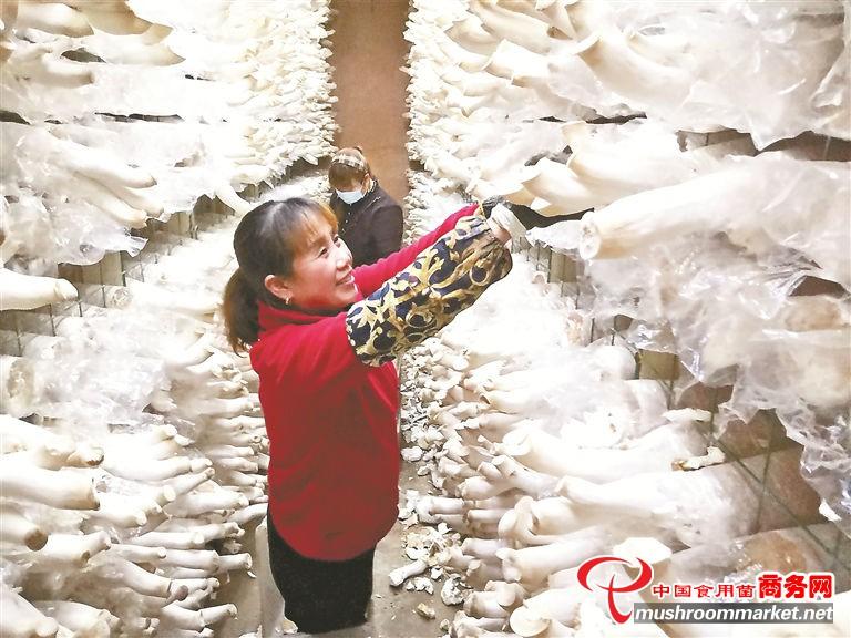 福建省宁德市绿丰农业食用菌基地年产鲜杏鲍菇4000吨