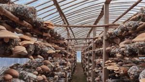 赵正富:香菇种出致富路