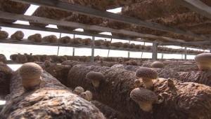 贵州省安龙县:种植食用菌 打造增收主导产业