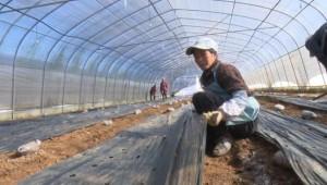 """江苏省盐城市:羊肚菌产业撑起增收致富""""伞"""""""