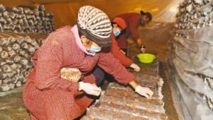 辽宁省朝阳市:提升食用菌附加值 助农增收