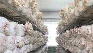 """甘肃省敦煌市:小蘑菇撑起""""致富伞"""" 促进增收"""