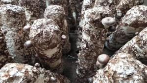 河北省行唐县全力保障疫情期间香菇顺利生产
