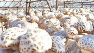 河南省驻马店市:小花菇成为农民致富大产业