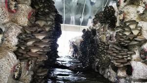贵州省石阡县:10万棒平菇日采收量达3000斤
