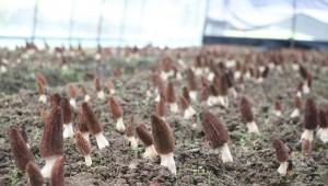 贵州省绥阳县:小小羊肚菌 种出新业态