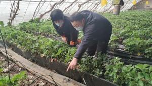 草莓套种鸡腿菇!北京市昌平这项种植技术试验成效初显