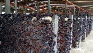 大棚免費用 山東魚臺農戶種出毛木耳 90%利潤歸自己