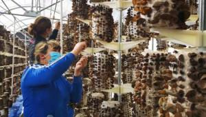 新疆温宿县:黑木耳基地收获大量黑木耳 促进经济发展