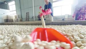 江西省乐安县:双孢菇飘香富农家 推动产业发展