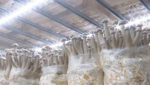 """日產鮮菇10噸!貴州安龍""""工廠化+立體化""""鹿茸菇生產模式提質增效"""