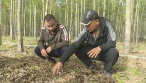 黑龙江省讷河市部分乡镇赤松茸开始采摘 带动农户和脱贫群众增收