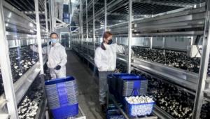 甘肃和政县:引进隧道式发酵技术 引领食用菌产业升级发展