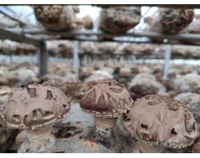 香菇菌棒厂家直销  河南灵宝香菇菌棒厂家批发