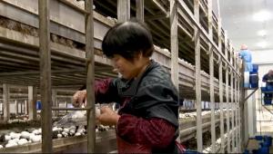 """引进荷兰数字化生产工艺 上海优质食用菌品种""""联中一号""""上市忙"""