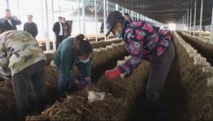 黑龙江讷河市:赤松茸进入下菌阶段 标准化大棚工厂化种植效益高