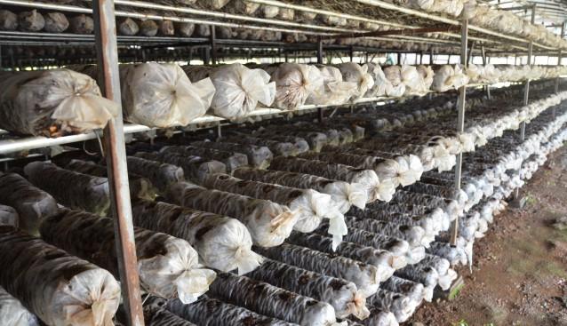 湖北省随州市食用菌协会志愿服务队为菇农灵芝怪病开药方