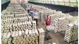 廣西靈川縣:小蘑菇做出大產業 加快現代農業產業發展