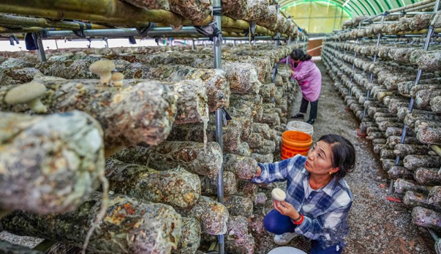山西省垣曲縣:合作社員工采摘成熟香菇 建成自動化菌棒生產車間