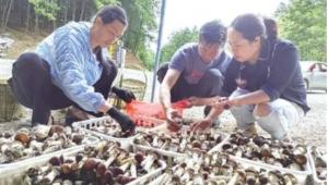 貴州省六盤水市水城區:大球蓋菇迎來綠色經濟增長點