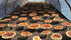 上海市農科院靈芝科研一直走在國內前沿 培育優良菌種