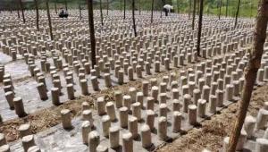 甘肅省舟曲縣:因地制宜大力發展黑木耳種植產業 帶動貧困戶增加收入