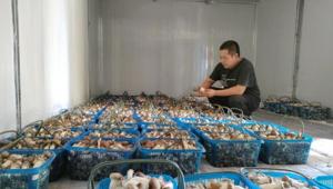 甘肅省臨澤縣五泉林場大球蓋菇喜獲豐收 助力林下經濟發展