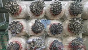 河南省農科院食用菌科研團隊利用種質資源庫解菌源之困 掌菇種之權
