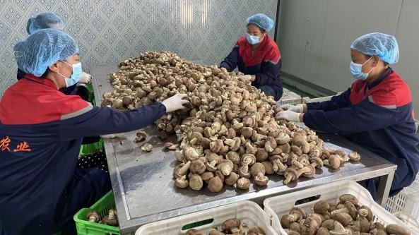陜西省銅川市耀州區:全產業鏈向產業集群發展 小香菇托起群眾致富夢