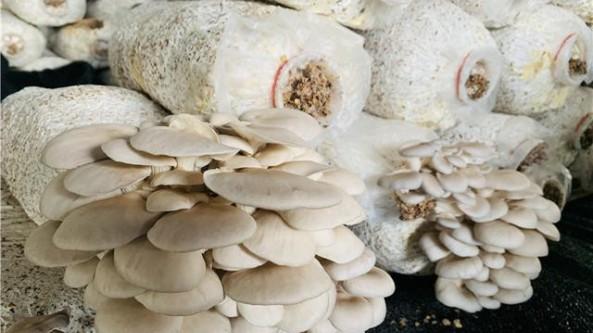 """贵州桐梓县马鬃苗族乡:食用菌撑起""""致富伞"""" 产出菌菇品质越来越高"""