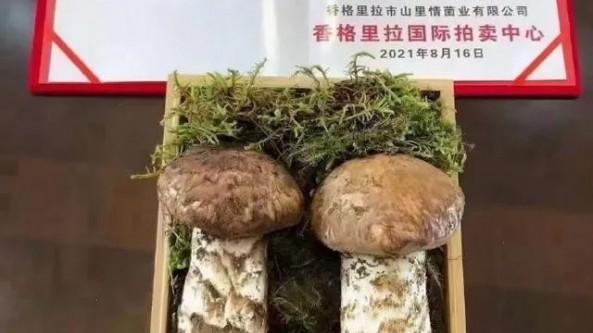 """香格里拉松茸695克售出25万元""""天价"""""""