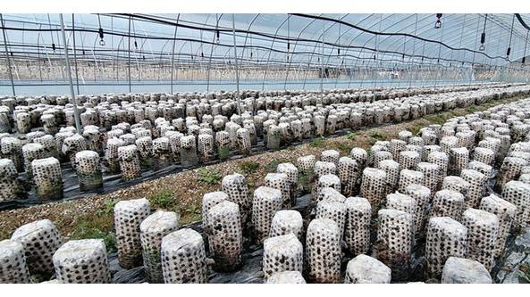 甘肅省清水縣:發展黑木耳優勢特色產業 助力鄉村振興