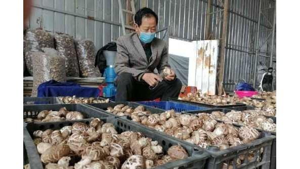 河南省確山縣竹溝鎮:打造香菇種植品牌 帶動農戶增收致富