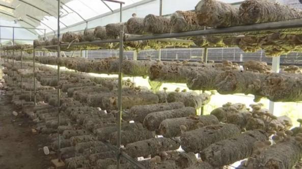 贵州省晴隆县:香菇采摘忙 菇农增收笑