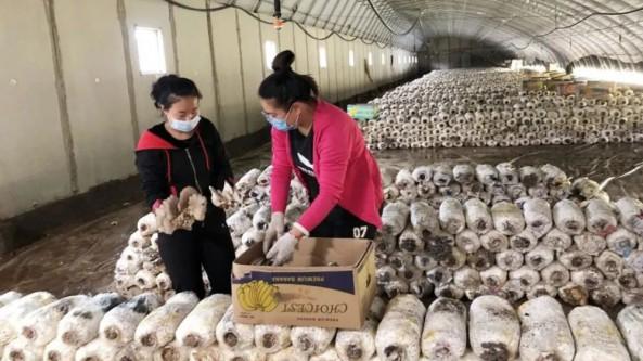 内蒙古乌兰察布市:蘑菇品质高 鼓起农民钱袋子