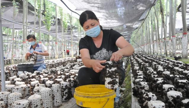 新疆拜城縣:種植黑木耳 實現致富夢