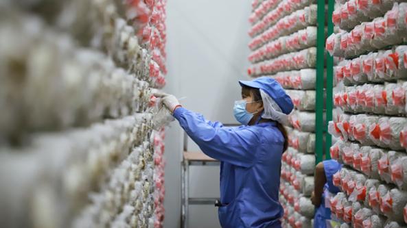 贵州浩润臻源食品有限公司推进秀珍菇全流程工厂化、标准化生产
