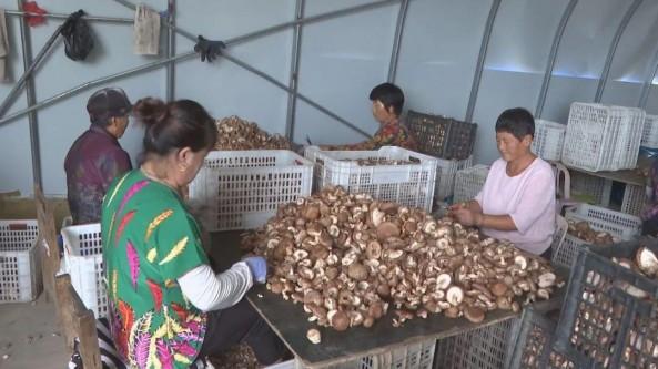 辽宁省清原县:香菇富民 兴旺了产业