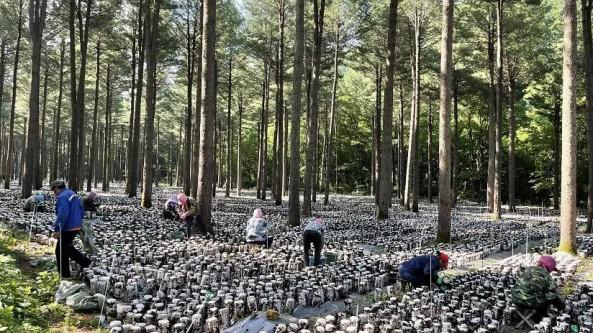 遼寧省滿族縣:林下木耳朵朵開 致富產業入畫來