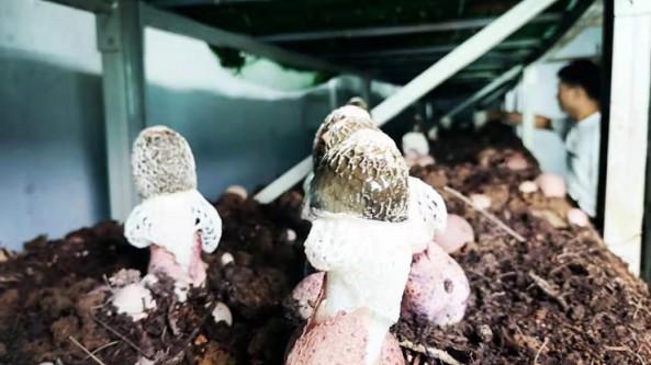 """贵州白云区:建设""""智能菇房"""" 推动食用菌产业提质增效"""
