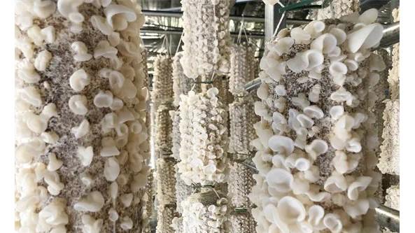贵州省铜仁市万山区敖寨乡食用菌生态智慧农场玉木耳长势喜人