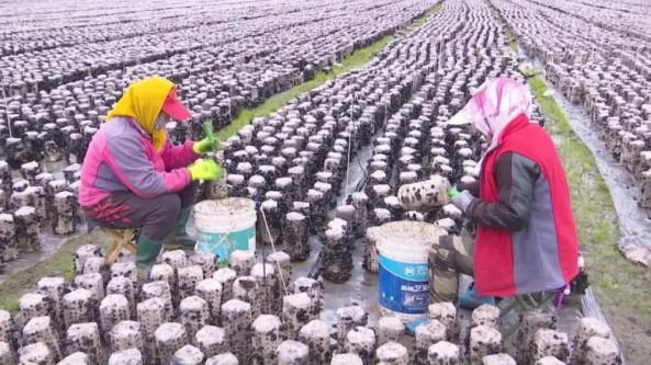 吉林省敦化市秋梨沟镇大力发展食用菌产业 助力乡村振兴