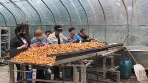 内蒙古呼伦贝尔市阿荣旗:两季轮种食用菌 保障企业正常运转