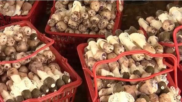 贵州省安龙县:种植红托竹荪 带动农户增收