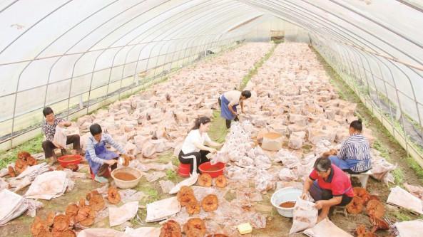 貴州省印江縣十萬靈芝喜獲豐收 藥農致富有望
