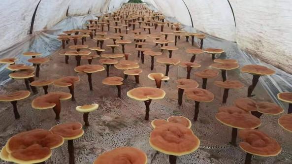 靈芝孢子粉標準實施助推靈芝產業發展