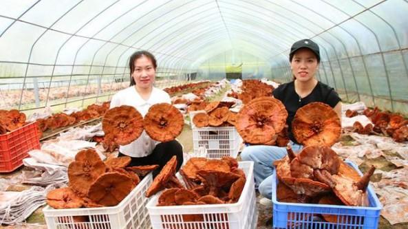 貴州省印江縣:朵朵靈芝迎豐收 撐起藥農致富傘