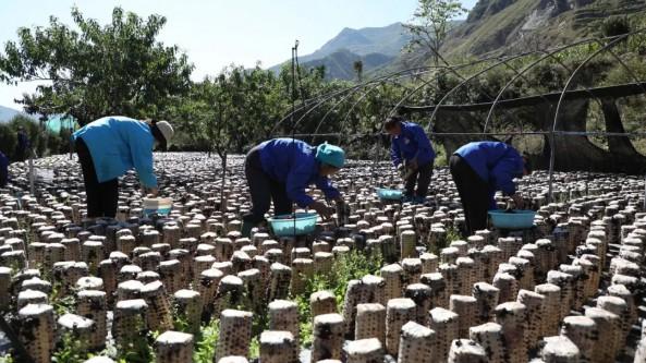 甘肅省舟曲縣:發展食用菌產業 助力鄉村振興