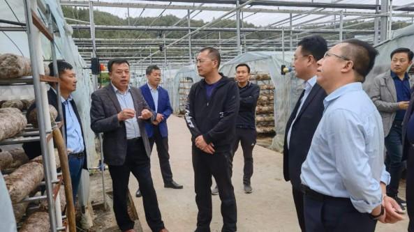 湖北省随县委书记陈良调研县香菇产业发展情况