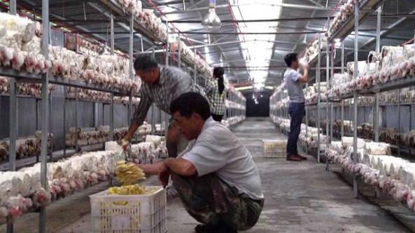 广西东兰县:食用菌成为助力乡村振兴的重点产业